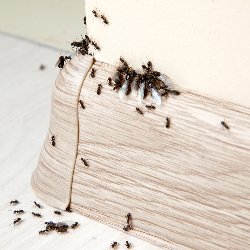 ants on baseboard in a home